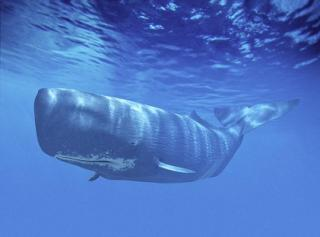 Giant Sperm Whale