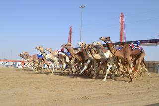 Image of Camel Racing