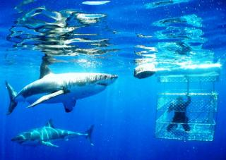 Shark Diving With Shark And Safari - Tours And Shuttles