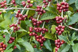shim coffee and protea farm tour