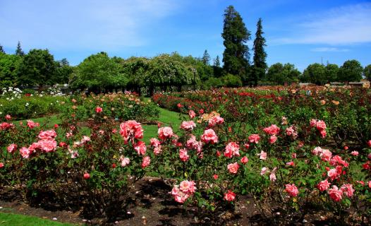 San Jose Municipal Rose Garden San Jose Reviews Ticket Price Timings Address Triphobo