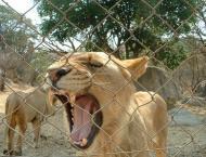 Lion And Cheetah Park