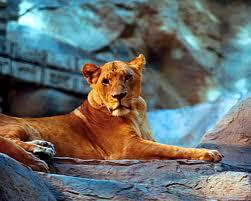 Mgm Grand Lion Habitat Image