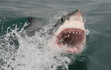 White Shark Africa Image