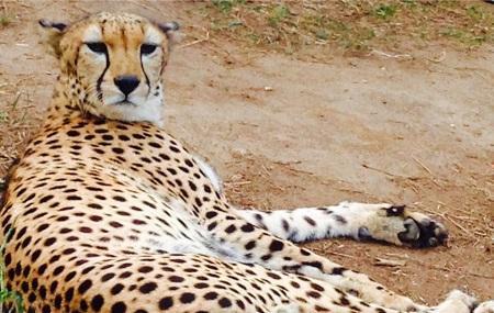 Cheetah's Rock Image