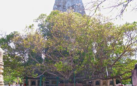 Bodhi Tree (bodhgaya), Bodhgaya