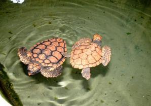 Turtle Farms, Hikkaduwa