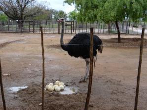 Safari Ostrich Show Farm, Oudtshoorn