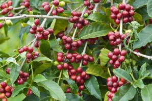 Shim Coffee And Protea Farm Tour, Maui